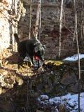 Hond in ruïnes stock fotografie