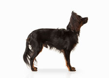 Hond Russisch stuk speelgoed terriërpuppy op witte achtergrond Stock Foto's