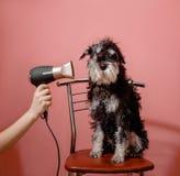 Hond schnauzer op roze achtergrond en droogkap in vrouwelijke hand stock foto's