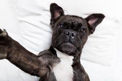 Hond selfie in bed stock afbeeldingen