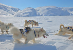 Hond sledging reis in de winter royalty-vrije stock foto