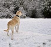 Hond in Sneeuw Stock Foto