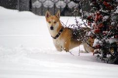 Hond in sneeuw Stock Foto's