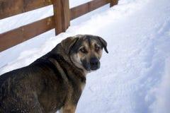 Hond in sneeuw Royalty-vrije Stock Afbeelding
