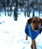 Hond in sneeuw Stock Afbeeldingen