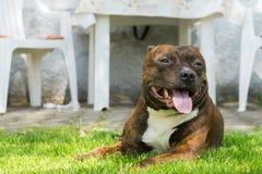 Hond, Staffordshire die bull terrier, op groen gras met glimlach liggen Stock Foto's