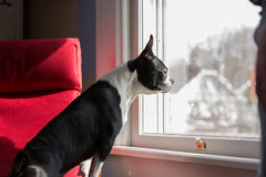 Hond status die uit venster kijken stock afbeelding