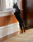 Hond status die uit venster kijken royalty-vrije stock fotografie