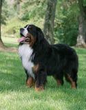 Hond status die vooruit eruit zien stock foto's