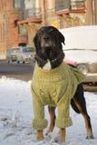 Hond in sweater 01 Stock Fotografie