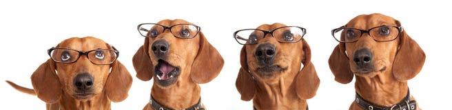 hond Tekkel in glazenclose-up Stock Afbeeldingen