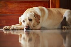 Hond thuis Royalty-vrije Stock Afbeeldingen