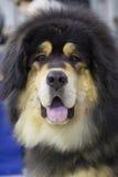 Hond Tibetaanse Mastiff Stock Foto's