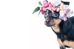 Hond, Toy Terrier in een kroon van bloemen stock fotografie