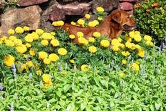 Hond in tuin stock afbeelding