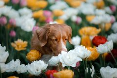 Hond in tulpenbloemen Huisdier in de zomer in aard Toller royalty-vrije stock afbeelding