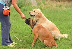 Hond twee in opleiding Stock Foto