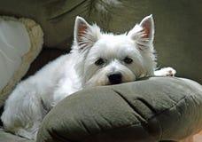 Hond van Chillin Stock Afbeeldingen