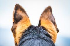 Hond van de afluisteraar de Duitse herder stock afbeelding