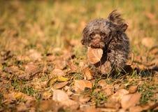 Hond van de de kleurenoverlapping van het hondras de Russische Stock Foto