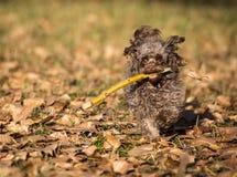 Hond van de de kleurenoverlapping van het hondras de Russische Stock Afbeeldingen