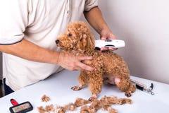Hond van de Groomer de verzorgende poedel met versieringsclipper in salon Stock Fotografie