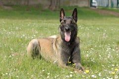 Hond van de Malinois couhed de Belgische Herder in a positie zonder zich het bewegen met een scherp oog en het wachten op orden stock foto's
