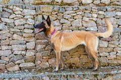 Hond van de Malinois de Belgische Herder Royalty-vrije Stock Afbeeldingen