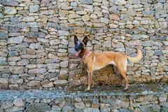 Hond van de Malinois de Belgische Herder Stock Afbeelding