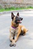 Hond van de Malinois de Belgische Herder Royalty-vrije Stock Fotografie