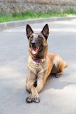 Hond van de Malinois de Belgische Herder Stock Fotografie