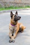 Hond van de Malinois de Belgische Herder Stock Afbeeldingen