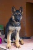Hond van de puppy de Duitse herder Royalty-vrije Stock Afbeeldingen