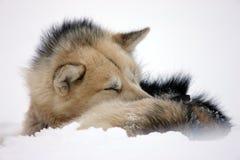 Hond van de slee rolde omhoog aan slaap in de sneeuw, Groenland royalty-vrije stock fotografie