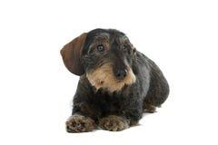 Hond van de Tekkel van de draad haired royalty-vrije stock foto's