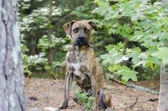Hond van het de Honden de Pitbull gemengde ras van bokserplott Stock Foto