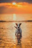 Hond van het overzees Het springen, zonsondergang, brand Royalty-vrije Stock Afbeeldingen