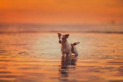 Hond van het overzees Het springen, zonsondergang, brand Stock Foto