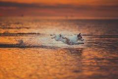 Hond van het overzees Het springen, zonsondergang, brand Stock Afbeeldingen
