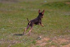 Hond van het stuk speelgoed terriërras Royalty-vrije Stock Fotografie