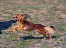 Hond van het stuk speelgoed terriërras Stock Afbeelding