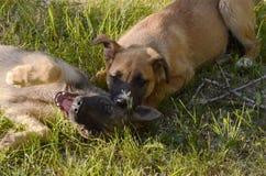 Hond van lichtbruine kleur op groen gras te spelen stock foto's