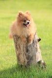 Hond van Pomeranian loog op boomschors Royalty-vrije Stock Foto's