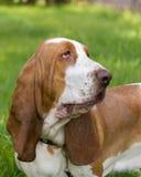 Hond van ras baset-haund Royalty-vrije Stock Foto's