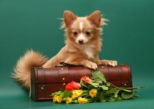 Hond van rassenchihuahua. Royalty-vrije Stock Fotografie