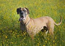 Hond in veadow Stock Afbeeldingen