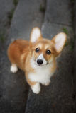Hond velsh Corgi die omhoog eruit zien Royalty-vrije Stock Fotografie