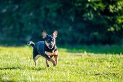 Hond in weide in werking die wordt gesteld die royalty-vrije stock foto