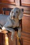 Hond weimaraner Royalty-vrije Stock Afbeeldingen