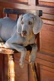 Hond weimaraner Stock Afbeelding